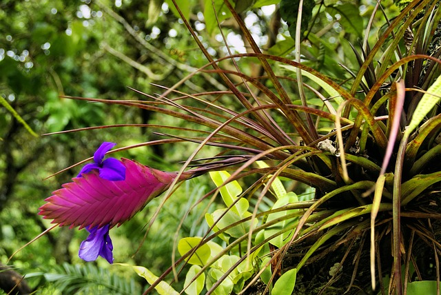 Tillandsia in bloom